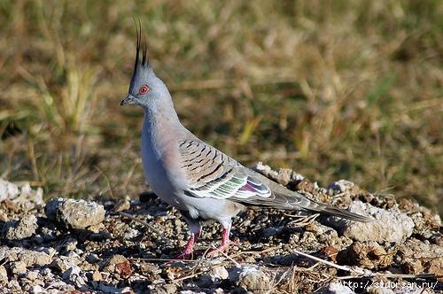 Хохлатый бронзовокрылый голубь (500x332, 181Kb)