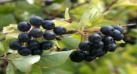 Польза-черноплодной-рябины (550x300, 51Kb)
