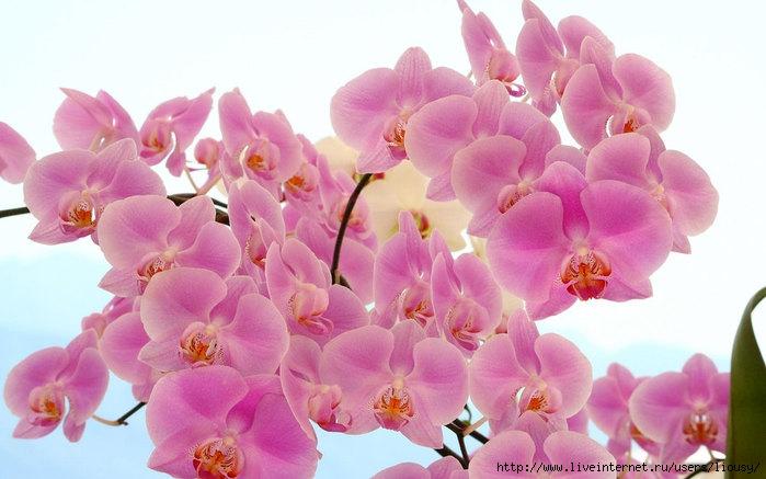orchid-14_neocorsten_ncsa (700x437, 170Kb)