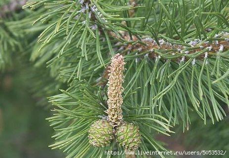дерево сосна и шишки (463x319, 110Kb)