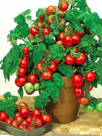 Tomat Vilma (333x444, 80Kb)