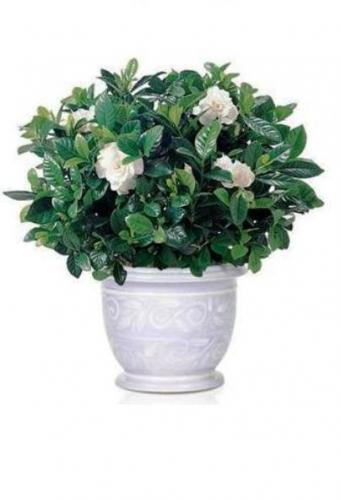 Gardenia (341x500, 19Kb)