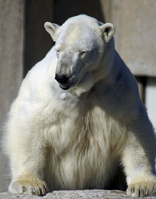 22951291_polar_bear_1 (500x637, 95Kb)