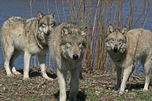 23118406_wolf_4 (500x333, 110Kb)