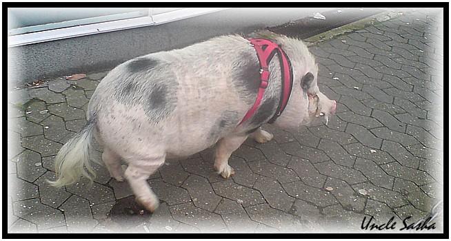 Schwein5 (654x350, 89Kb)