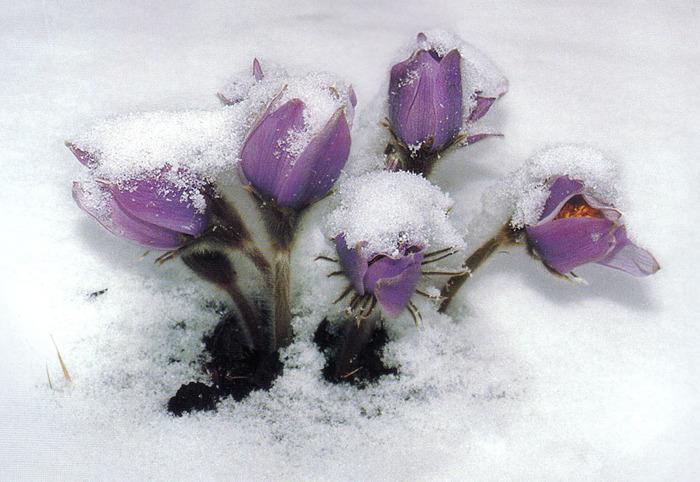Где зима встречается с весной 80963 (700x482, 140Kb)