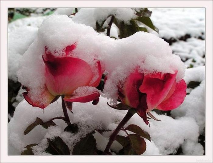 Цветы под снегом2 (700x537, 210Kb)