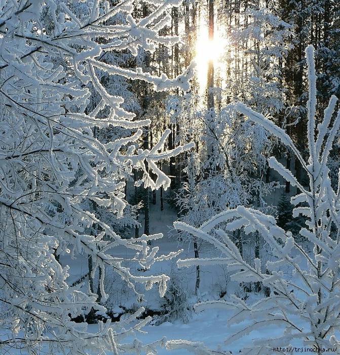 Когда зимой холодною в крещенские морозы щебечет песню соловей и распускаются мимозы