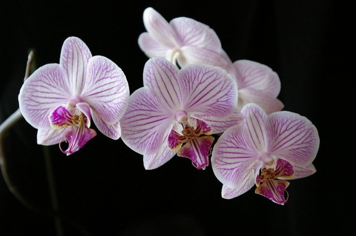 phalaenopsis (700x465, 45Kb)