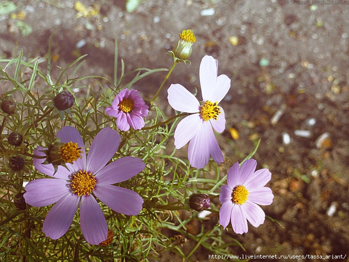 pink_flowers_by_izaballaantern-d6u0ev4 (700x525, 351Kb)