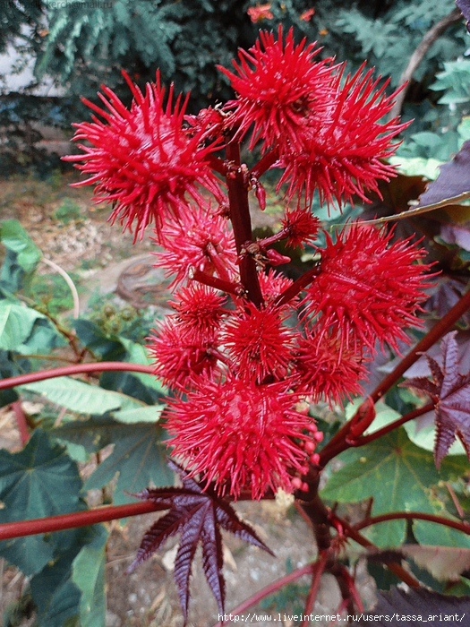 red_plant_by_izaballaantern-d6u0dwi (525x700, 409Kb)