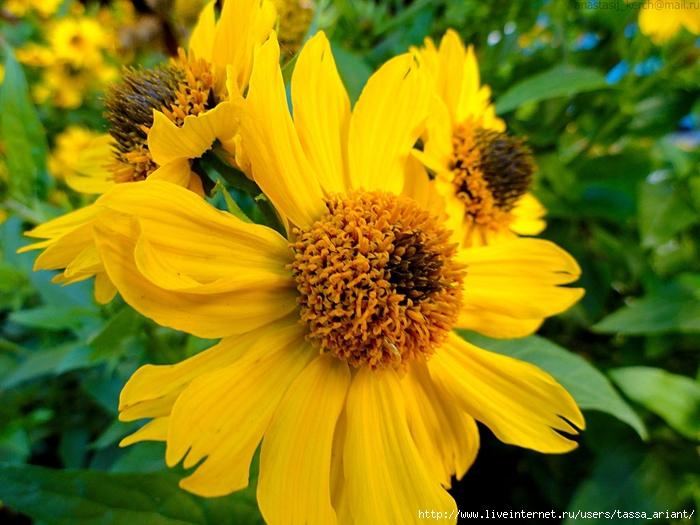 yellow_flower_by_izaballaantern-d6u0egx (700x525, 296Kb)