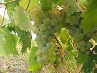 виноград (200x150, 29Kb)