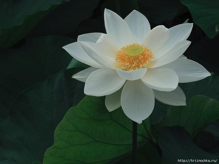 Колесо жизни, или прекрасный цветок лотоса!