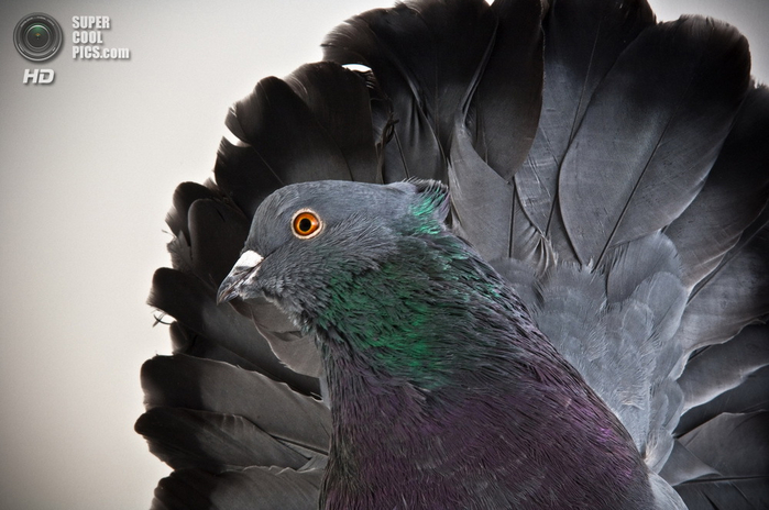 голубь фото 2 (700x464, 274Kb)