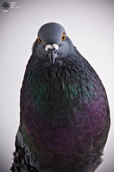 голубь фото1 (465x700, 280Kb)