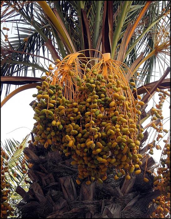 пальма 2 (546x700, 591Kb)