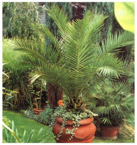 пальма 6 (473x500, 223Kb)