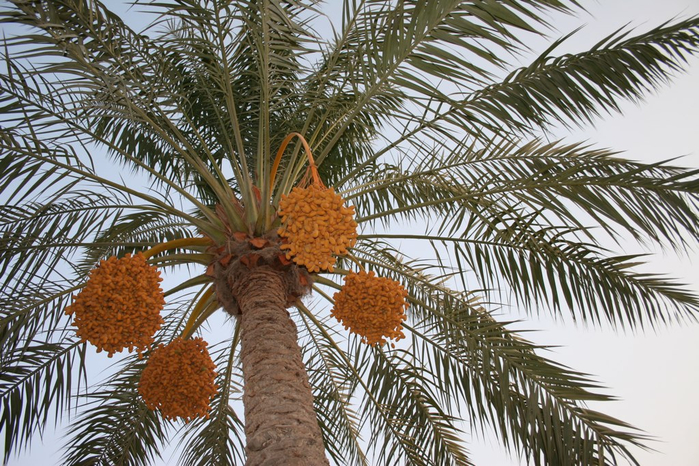 пальма 8 (700x466, 483Kb)