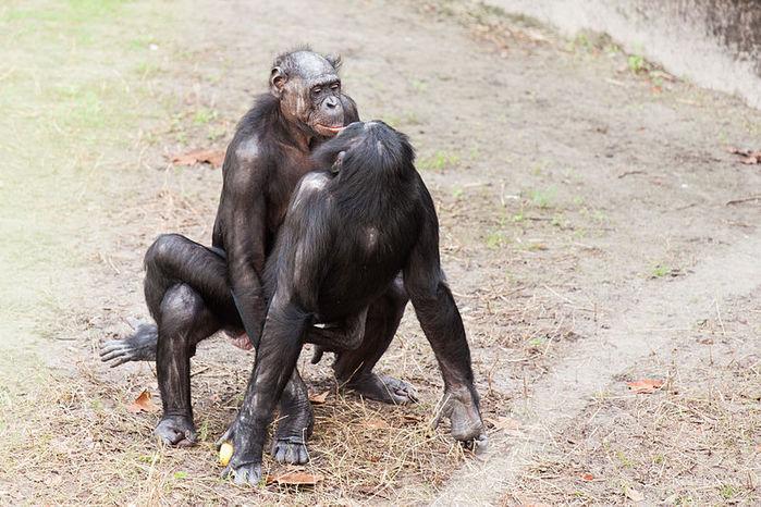 Отличные шимпанзе. Секс, играющий центральную роль в их социальной жизни,