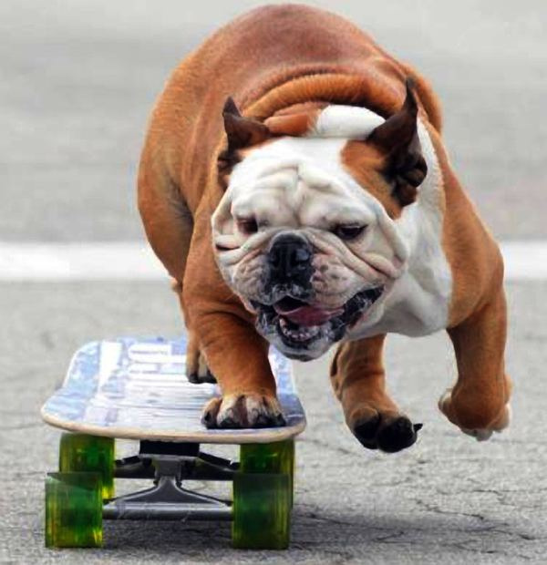 2835299_Bulldog_skateboard_22 (600x620, 54Kb)