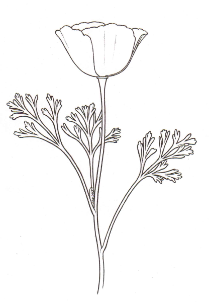 Poppy Line Drawing Tattoo : California poppy drawing related keywords