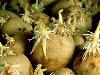 правильные-но-переросшие-ростки-на-семенной-картошке (400x300, 38Kb)