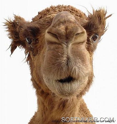 4ecad6f5e34615547577b0ef595a84ab_1_thumb[6] верблюд (453x478, 124Kb)