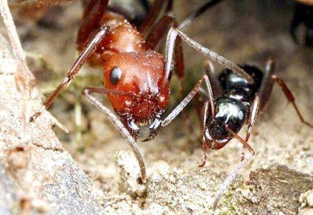 Американские сумашедшие муравьи (450x310, 62Kb)