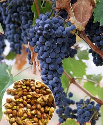 vinograd (355x431, 32Kb)