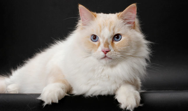 exotic-cat-breed-9 (645x380, 33Kb)