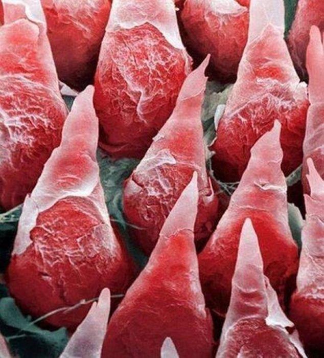 организм человека под микроскопом фото 3 (634x700, 249Kb)