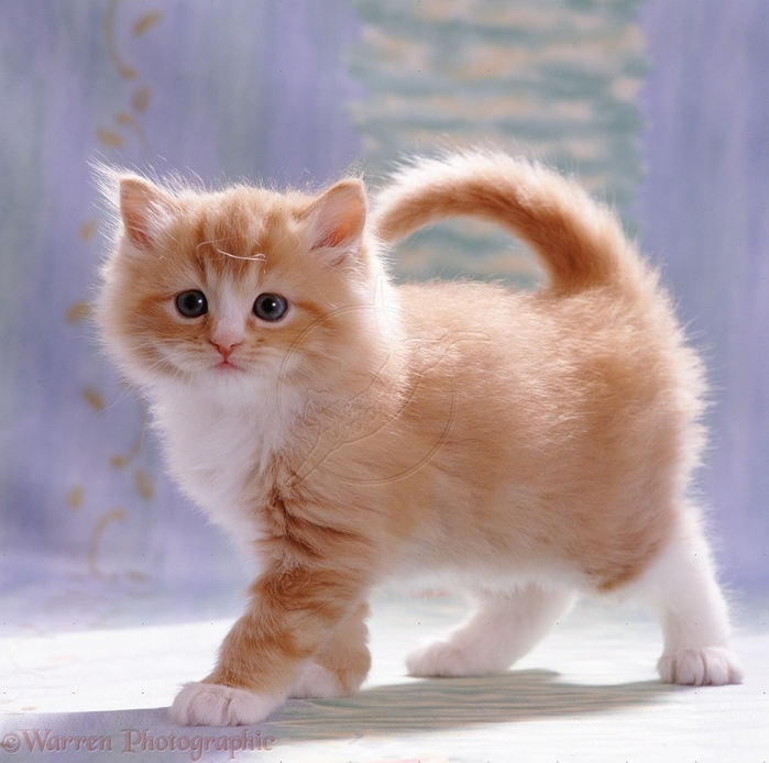 08482-Fluffy-ginger-female-kitten (700x694, 292Kb)