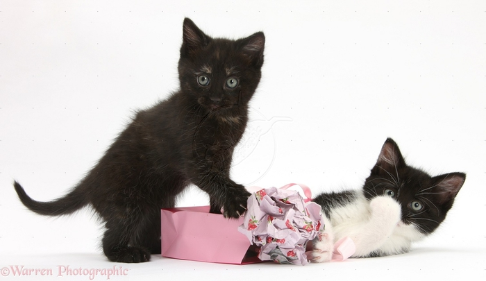 28892-Kittens-playing-with-birthday-gift-bag-and-wrapping-paper-white-background (700x405, 130Kb)