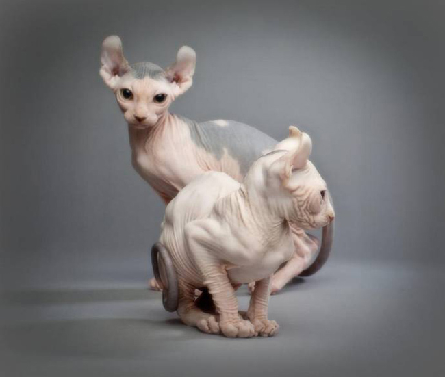 порода кошек эльф фото 1 (650x551, 136Kb)