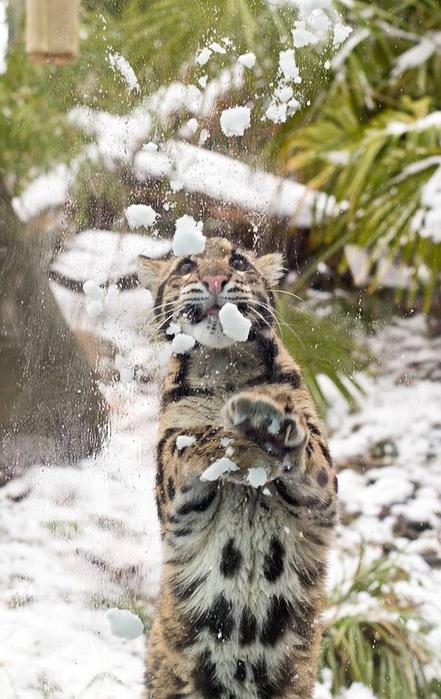 дымчатый леопард фото 4 (441x700, 343Kb)