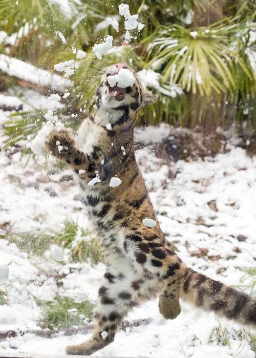 дымчатый леопард фото 6 (500x700, 383Kb)