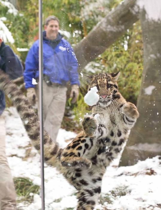 дымчатый леопард фото 9 (538x700, 350Kb)