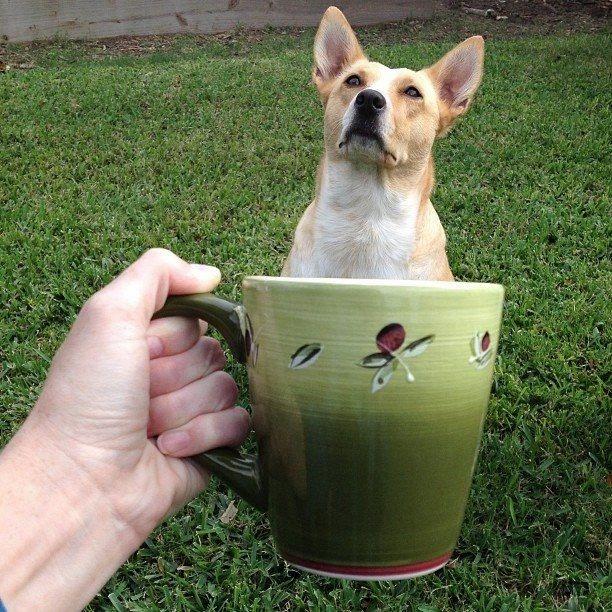собака в чашке интернет-мем фото (612x612, 322Kb)