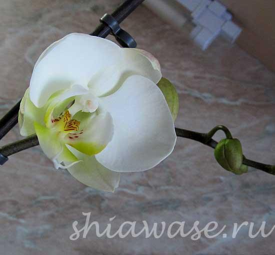 зацвела-орхидея (550x511, 18Kb)