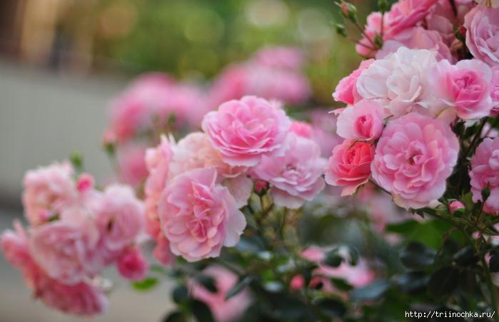 Плетистые и парковые розы!