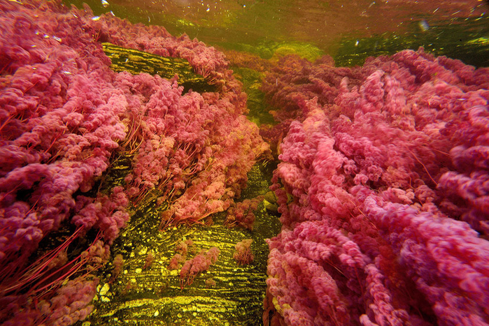 река пяти цветов колумбия фото 15 (700x467, 574Kb)