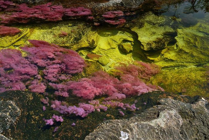 река пяти цветов колумбия фото7 (700x467, 529Kb)