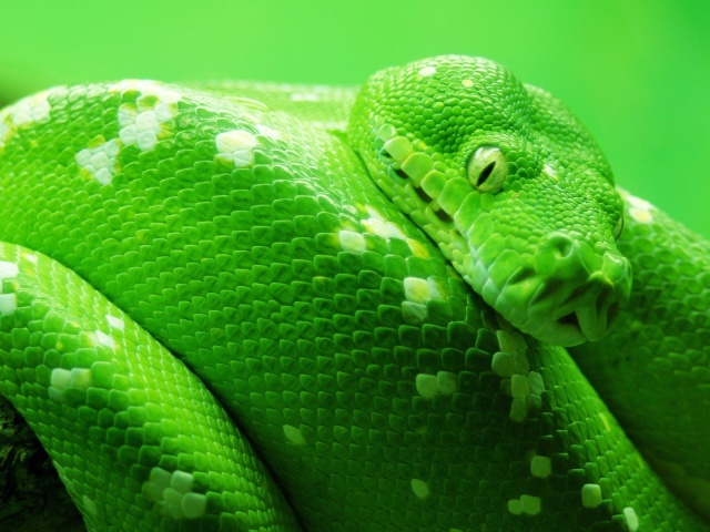 Animals_Reptiles_Green_snake_027561_29 (640x480, 318Kb)