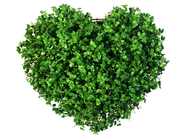 Holidays_Saint_Valentines_Day_Heart_of_the_greens_013163_29 (640x480, 348Kb)