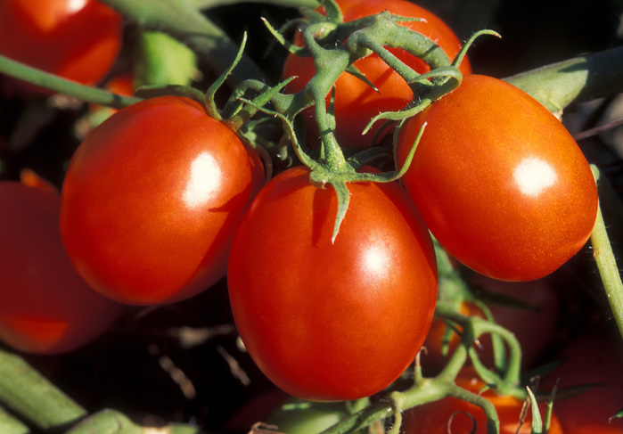 1336984327_pomidor (700x487, 122Kb)