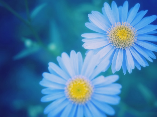 102310901_Nature_Flowers_Daisies_033797_29 (640x480, 104Kb)