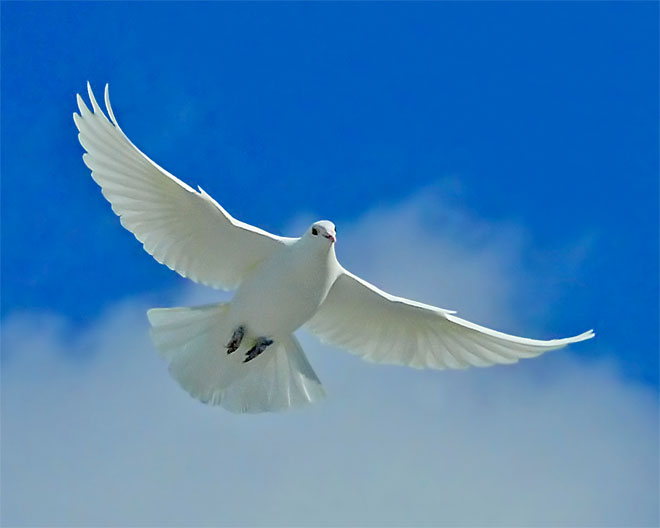 76891591_2222299_73887131_white_dove_of_peace_m (660x528, 27Kb)