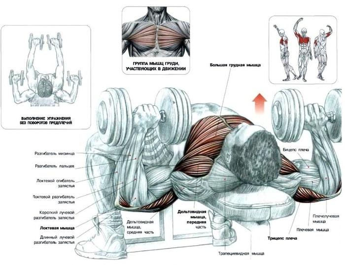 Упражнения для мышц груди Комплекс упражнений для развития мышц . Грифф: A