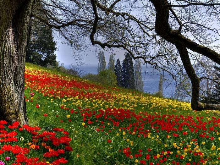Wild-Tulips-1260x1680 (700x525, 393Kb)
